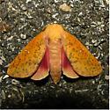 Sphingicampa bicolor - Hodges #7709 - Sphingicampa bicolor