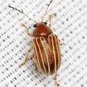 Leaf Beetle - Colaspis pini