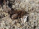 Spider found in sand dunes - Lutica