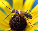 Goldenrod Soldier Beetle (Chauliognathus pennsylvanicus)   - Chauliognathus pensylvanicus