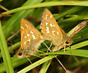 mating Common Branded Skippers - Hesperia comma - male - female