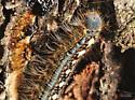 Larvae on Elm Tree - Malacosoma disstria