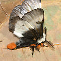 New England Buck Moth - Hemileuca lucina - male