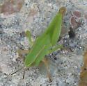 Green Hopper - Dichromorpha viridis - female