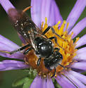 Bee on aster - Lasioglossum coriaceum