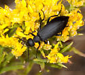 Saskatchewan Blister Beetle - Epicauta pennsylvanica
