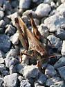 Red-legged Grasshopper? - Melanoplus femurrubrum