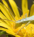 argentinus vs quadripunctatus - Oecanthus - female