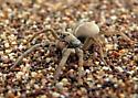 Sand Dunes spider - Geolycosa missouriensis