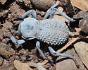 Desert Ironclad? - Asbolus verrucosus