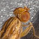 Heleomyzidae ? - Opomyza