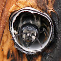 Bee in the bee hotel - Megachile