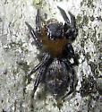 Jumping Spider - Pseudeuophrys erratica