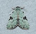noctuidae - Leuconycta diphteroides