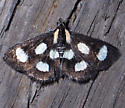 Small Black and White Moth - Anania funebris