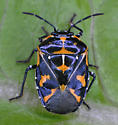 Bug nymph - Murgantia histrionica