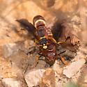 Euodynerus sp? - Euodynerus crypticus - male - female