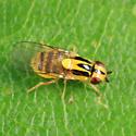Frit Fly - Thaumatomyia glabra - female