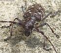 Beetle - Monochamus clamator