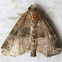Hops Angleshade  - Hodges#9558.1 - Niphonyx segregata