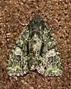 Moth in house ... ID please - Phosphila miselioides