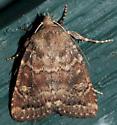 moth Stanwood WA - Pseudorthodes irrorata