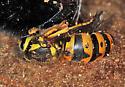 yellowjacket and overwintering partner - Vespula pensylvanica - female