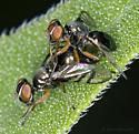 Mating Pair of Signal Flies - Rivellia micans - male - female