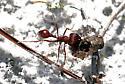 Florida Harvester Ant - Pogonomyrmex badius - Pogonomyrmex badius