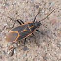 Trail bug - Boisea trivittata