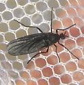 Diptera - Penthetria heteroptera - female