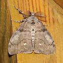 Unidentified Moth-20190818 - Orgyia