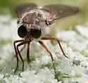 Is this S. rasa? - Stonemyia tranquilla - female