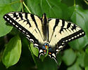 eastern tiger swallowtail, male - Papilio glaucus - male