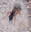 Sphecidae - Sphex ichneumoneus