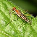 Stilt-legged Fly - Compsobata univitta