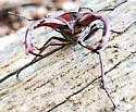 Stag horn beetle - Lucanus elaphus