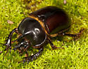 Gopher Beetle - Ceratophyus gopherinus - male