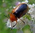Orange-headed Black Beetle - Anomoea
