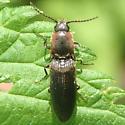 Beetle - Agriotes fucosus