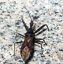 Assassin Bug - Acholla multispinosa