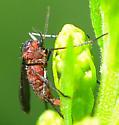red gall midge on goldenrod Cecidomyiinae sp? - female