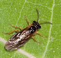 Indiana sawfly - Monostegia abdominalis