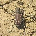 12-spotted Tiger Beetle - Cicindela repanda