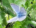 Small Silvery Blue butterfly - Celastrina echo