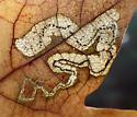 Linear blotch mine on red oak - Stigmella quercipulchella