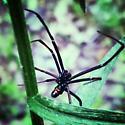 Is it a black widow? - Latrodectus