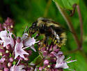 Bumble bee on oregono - Bombus mixtus