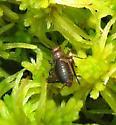 Tiny crickets found at Tamarack Bog on Sphagnum moss - Neonemobius palustris - male