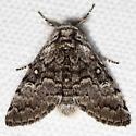 Closebanded Yellowhorn - Hodges#9185 - Colocasia propinquilinea